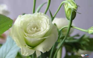 Как называются цветы, похожие на розы: названия и описания