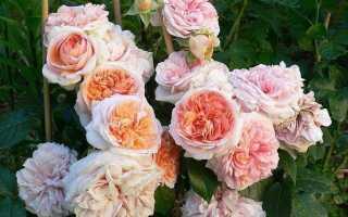 Парковая роза Чиппендейл: описание сорта, уход