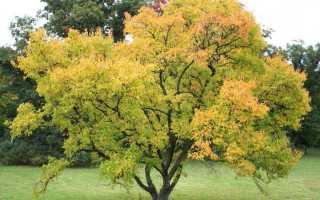 Клён гиннала: описание и посадка дерева