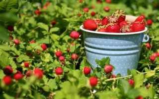 Секреты ухода за садовой земляникой (клубникой)