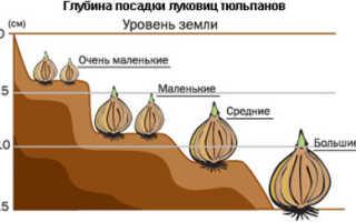 Как правильно проводить посадку тюльпанов осенью в грунт