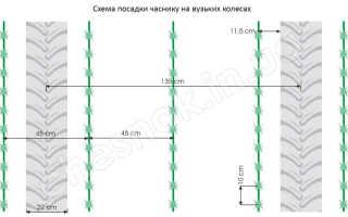 Сроки посадки чеснока под зиму в Украине