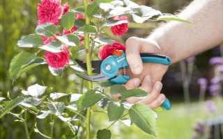 Обрезка роз осенью: описание и инструкция для начинающих