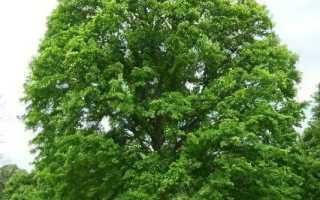 Описание вреда и пользы североамериканского ясенелистного клёна