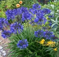 Агапантус – цветок любви