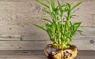 Бамбук в домашних условиях: выращивание и уход за растением