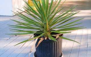Комнатный цветок юкка: уход за растением в домашних условиях