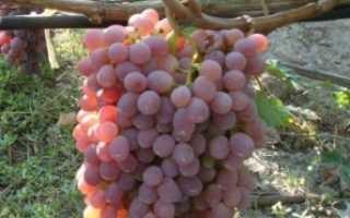 Белый и розовый виноград Тайфи: описание сорта