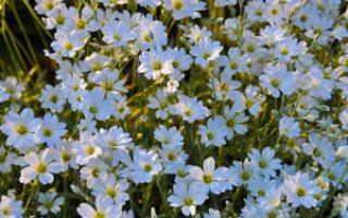 Почвопокровные многолетники, цветущие все лето в саду