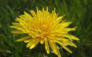 Одуванчик лекарственный — полезный сорняк