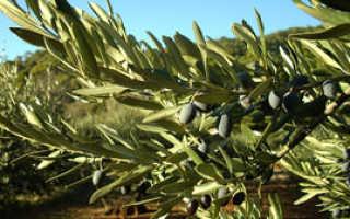 Описание оливкового дерева, где растет, польза плодов