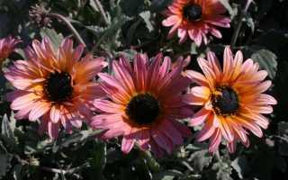 Цветок арктотис, его разновидности и цвета, выращивание из семян