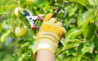 Летняя обрезка плодовых деревьев