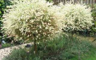 Ива Хакуро Нишики: описание, уход и выращивание в саду