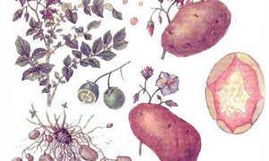 Клубень картофеля: описание растения, картофельные стебли и листья