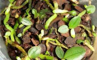 Можно ли прорастить семена орхидеи в домашних условиях