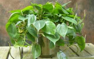 12 секретов выращивания филодендронов