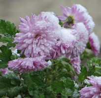 Как сохранить хризантемы зимой, не выкапывая из почвы