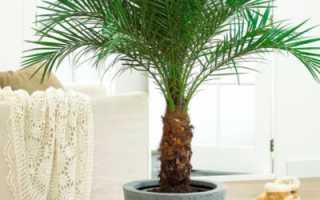 Пальмы, разнообразие видов