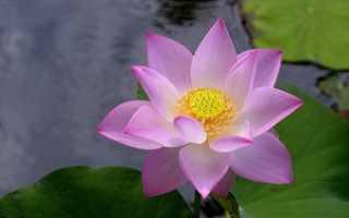 Как выглядит растение лотос, строение цветка и разведение дома
