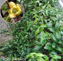 Кадзура японская — комнатная редкость
