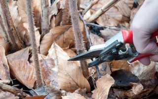 Обрезка ремонтантной малины осенью и подготовка куста к зиме