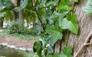 Размножение садового плюща