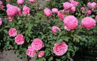 Роза леонардо да винчи: описание сорта