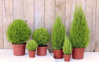 Уход за растением купрессус (cupressus) в домашних условиях
