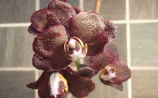 Орхидея с чёрными цветками paphiopedilum и фаленопсис