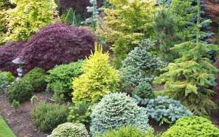 Хвойники: виды, посадка и уход за декоративными растениями