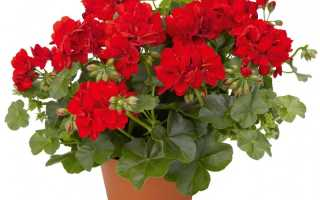Как правильно выполнить обрезку герани для пышного цветения