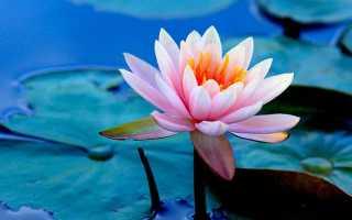 Белоснежная кувшинка, описание и виды растения, свойства цветка