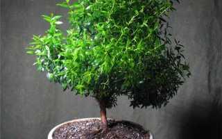 Растение мирт: описание кустарника и уход за комнатным цветком