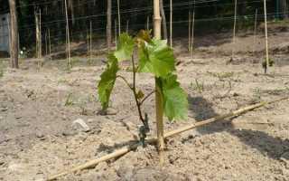Плюсы и минусы посадки винограда саженцами осенью, правила высадки