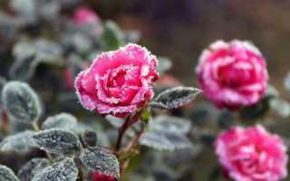 Выбор и использование укрывного материала для роз на зиму
