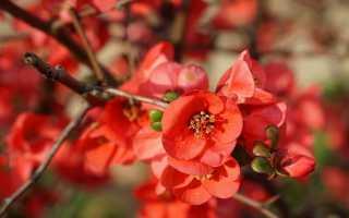 Растет ли у вас японская айва?