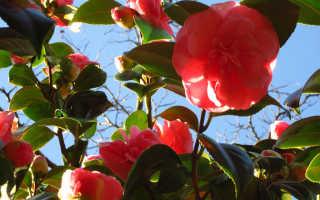 Когда цветет камелия и как выглядят цветки растения
