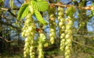 Описание граба, где растёт дерево в России