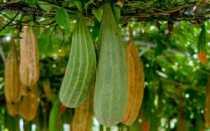 Как вырастить Люффу из семян и сделать из плодов мочалку