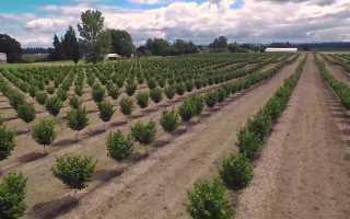 Оптимальные условия выращивания и уход за орехом фундук