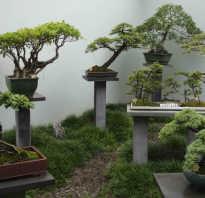 Уход за растением бонсай в домашних условиях