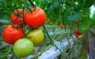Влияние температуры на развитие томатов