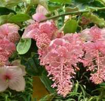 Как добиться обильного цветения мединиллы?