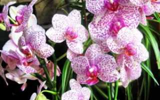 Как поливать орхидею в домашних условиях?