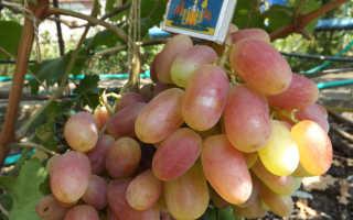 Виноград Виктор: описание и характеристика сорта