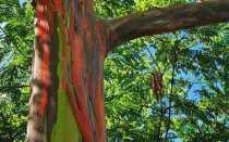 Описание дерева эвкалипт, где растет и как выращивать растение