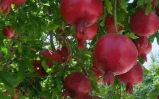 Как растет гранат и где выращивают фрукт: описание, сорта