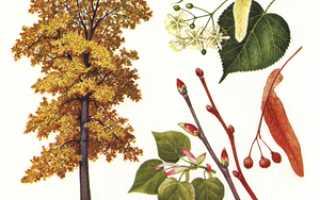 Как называются и где применяются плоды и листья клена