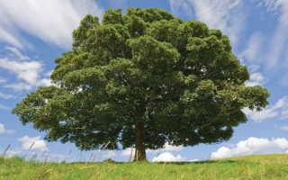 Дерево бук: описание букового дерева и его плодов